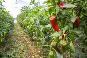 Seoski brica uzgaja papriku koja pronalazi kupce u Mađarskoj  i Hrvatskoj