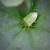 Zahlađenje narednih dana - jabuke napadaju zelena i braon stenica