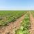 Tropske temperature pogoduju razvoju grinja na soji
