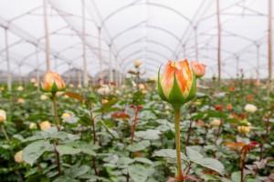 Proizvodnja rezanog cveta ruže u Čoki ima višedecenijsku tradiciju