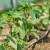 Dovoljno je vlage i idealno je vrijeme za prvu prihranu povrća dušikom