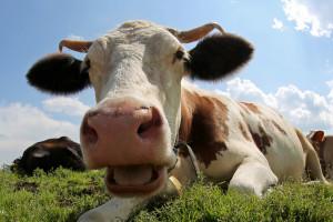 Istraživanje pokazalo kako krave komuniciraju sa nama