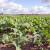 Nema visokih rezultata u uljanoj repici bez uravnotežene gnojidbe