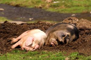 Velika Britanija donosi novi Zakon o dobrobiti životinja, ali i subvencije za stočare