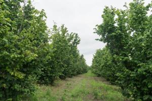Uzgoj lješnjaka: Agromeliorativna gnojidba i navodnjavanje