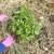 Uzgoj krumpira bez obrade tla - pod slamom ili sijenom