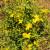 Ljekoviti kantarion nema velike zahtjeve pri uzgoju - koji su uvjeti uspijevanja?