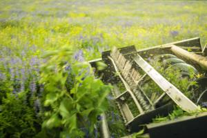 Suzbijte korove u lucerištu na efikasan način