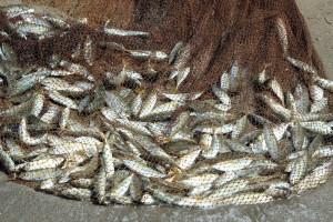 Novi Pravilnik o ribolovnim mogućnostima u gospodarskom ribolovu srdelarom