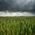 Kiša spašava prinose europske pšenice?