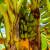 Prva uzgojena banana u susjedstvu - ipak je neće biti na tržištu
