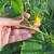 Pinciranje krastavaca ubrzat će berbu i do 20 dana