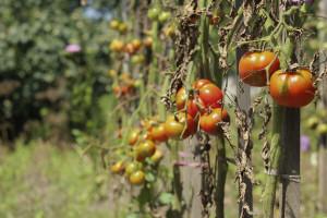 Širi se virus koji preti biljkama paradajza i paprike