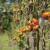 Širi se razoran virus koji prijeti biljkama rajčice i paprike