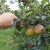 Kako oporaviti voćnjak i vinograd nakon grada?