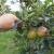 Kako oporaviti voćnjak i vinograd nakon tuče?