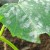 Zaštitite krastavac od pepelnice prirodnim preparatima - mlijekom, sodom, pepelom