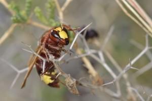Orijentalski stršljen stigao u Sloveniju - prijetnja pčelama i pčelarima