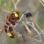 Orijentalski stršljen u regionu - prijetnja pčelama i pčelarima