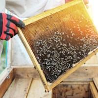 Povećanje broja medonosnih pčela u urbanim sredinama ugrožava druge oprašivače