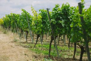Utjecaj visine vezanja lucnjeva na fiziološku aktivnost vinove loze