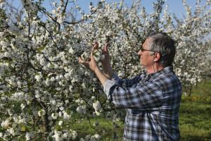 Kako da bujne voćke više rode?