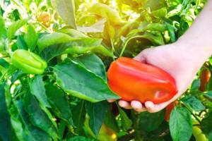 Kako prepoznati i sprečiti plamenjaču paprike?