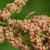 Kinoa - majka svih žitarica čisti organizam od otrova
