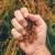 Koje su žitarice najbolje za ekološku proizvodnju?