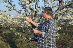 Stanje i perspektiva koštičavog voća u Srbiji