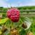 Simptomi sive truleži na plodovima maline - koje su mjere kontrole?