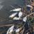 Ogromne količine zatrovane ribe u bačkom kanalu