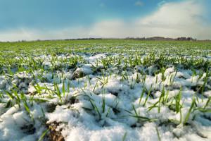 Otpornost pšenice na zimske uvjete ovisi prije svega o rokovima sjetve