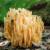 Žuta capica - ljekovita gljiva nalik koralju