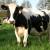 Belgolštin - nova rasa goveda sa odličnom mlečnošću