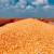 Veća aktivnost izvoznika - kukuruz trgovan po ceni od 17 do 17,5 dinara