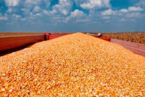 Za kukuruz, sirak i raž trenutno nema uvoznih carina
