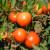 Pronašli sortu otpornu na virus smeđe smežuranosti ploda rajčice