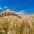 Ječam 19,8 dinara za kilogram, pada cena kukuruza - raste pšenice