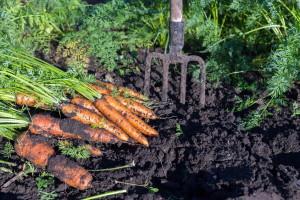 Uzgoj šargarepe: Ranija setva za bolji prinos i većisadržaj karotena i šećera