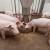 Zbog uvoza svinjetine, domaći stočari teško opstaju na tržištu