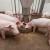 Eutanaziraju svinje jer je prerađivačka industrija prestala s radom?