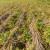 U toku je let leptira krompirovog moljca, u što kraćem roku sklonite krtole sa parcele