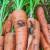 Mrkvina muha: Planirajte sjetvu i koristite prirodne metode zaštite