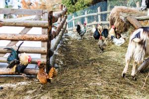 """""""Miris"""" balege i kukurikanje petla u Francuskoj prirodna baština"""