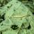Od četvrtka pljuskovi - pamukova sovica pravi štete u usevima
