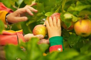 Otvorio voćnjak, pozvao ljude da beru i u dva i pol dana se riješio 10 tona jabuka!