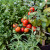 Pizza i sladoled vrt u posudama - kombinirajte bilje za omiljena jela