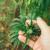 Kukuruzni moljac nanio štete biljkama industrijske konoplje
