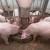 Kako do Covid potpora za uzgoj tovnih svinja?